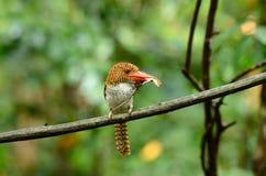 satt band kvinnligkingfisher Royaltyfri Bild