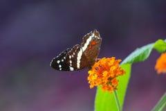 Satt band påfågelfjäril som matar från nektar av den orange blomman på arkivfoton