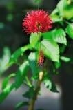 satt fransar på hibiskusschizopetalus Royaltyfri Foto