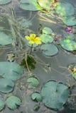 Satt fransar på näckros, gul floatingheart eller vattenfrans (Nympho Arkivfoton