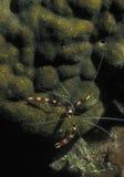 Satte band Coral Cleaner Shrimp - nattjakt arkivbild