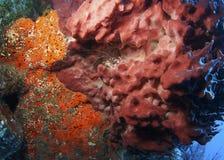 Satte band Coral Shrimp - Roatan, Honduras Arkivfoton