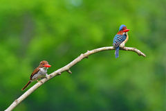 Satte band kungsfiskarefåglar Royaltyfria Bilder