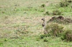 Satte band mangooes observera omgivningen Royaltyfri Fotografi