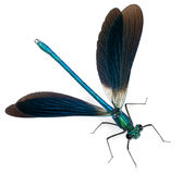 satte band splendens för calopteryxdemoisellemanlig Arkivbilder