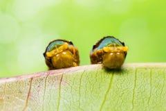 Satte band Swallowtail larver arkivbilder