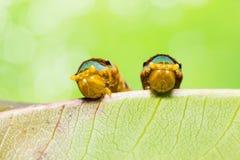 Satte band Swallowtail larver arkivfoton