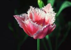 Satte fransar på röda Tulip Closeup Royaltyfri Foto