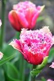 Satte fransar på Tulip Mascotte har frodigt, dubbelt, fuchsia-rosa färger blommor royaltyfri foto