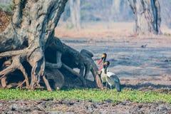 Sattel-berechneter Storch in der Savanne von in Simbabwe, Südafrika lizenzfreies stockbild