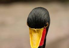 Sattel-berechneter Storch (Ephippiorhynchus senegalensis) Stockbild
