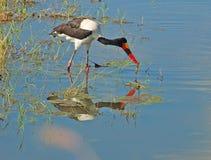 Satteln-berechneter Storch in Afrika stockbild