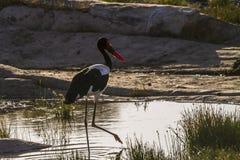 Satteln Sie berechneten Storch in Nationalpark Kruger, Südafrika stockfotos