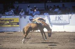 Satteln Sie Reiten des wilden Pferds, Santa Barbara Old Spanish Days, Fiesta-Rodeo, Pferdeshow auf Lager, Earl Waren Showgrounds, Stockbilder