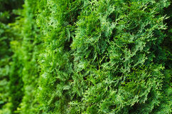 Saturated green leaves of thuja. Bright lush foliage background Royalty Free Stock Images