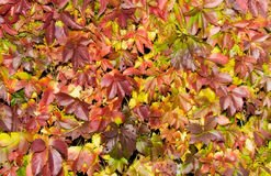 Saturated red autumn foliage Royalty Free Stock Photo
