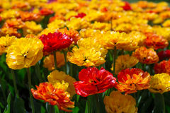 Saturated yellow, orange and red Terry Tulip. Saturated yellow, orange and red plush tulips on the flowerbed stock photography