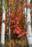 Saturazione della quercia rossa Immagine Stock