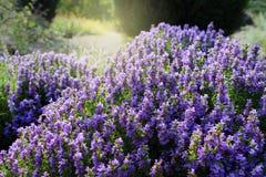 Satureja montana (illyrica) Royalty Free Stock Images