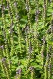 Satureja verde fresco montana fotos de stock