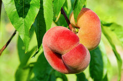 Saturn peach. Flat saturn peach, Paraguaya fruit Stock Photography