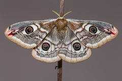 Saturnia pavonia (The Small Emperor Moth)-butterfly. Female of Saturnia pavonia (The Small Emperor Moth Royalty Free Stock Image