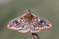 Saturnia pavonia (The Small Emperor Moth)-butterfly. Female of Saturnia pavonia (The Small Emperor Moth Stock Photo
