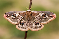 Saturnia pavonia (The Small Emperor Moth)-butterfly. Female of Saturnia pavonia (The Small Emperor Moth Stock Image