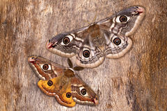 Saturnia pavonia (The Small Emperor Moth)-butterfly. A male and female of Saturnia pavonia (The Small Emperor Moth) that have just finished mating Royalty Free Stock Images