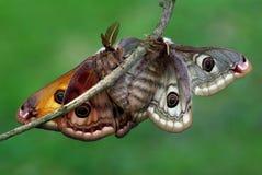 saturnia pavoniella влюбленности Стоковые Фотографии RF