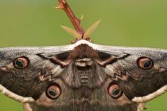 Saturnia pyri. Male Giant Peacock Moth (Saturnia pyri Royalty Free Stock Photos