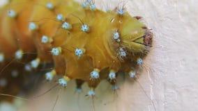 Saturnia pyri catterpillar stock video