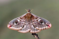 Saturniapavonia (den lilla kejsaremalen) - fjäril Arkivfoto