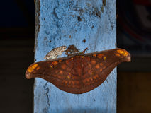 Saturniidae Butterfly sitting on a wooden post Sumatra, Indonesia. Saturniidae Butterfly sitting on a blue wooden post Sumatra, Indonesia stock images
