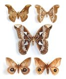 Saturniidae, silk moths (panel) Stock Image
