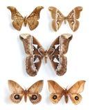 Saturniidae, zijdemotten (paneel) Stock Afbeelding