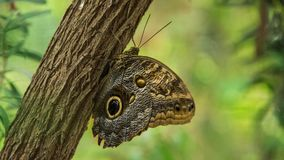 Saturnis pyri Butterfly on a trunk Stock Image