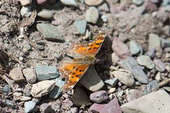 Satyr Comma Butterfly in Glacier National Park Stock Image
