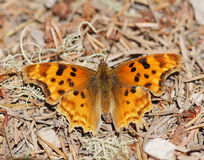 Satyr Comma butterfly Stock Image