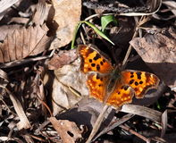 Satyr Comma Butterfly. Sitting on dead leaves in the spring Royalty Free Stock Photos