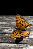 Satyr Comma (Polygonia satyrus) Royalty Free Stock Images