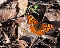 Satyr-Komma-Schmetterling Lizenzfreie Stockfotos