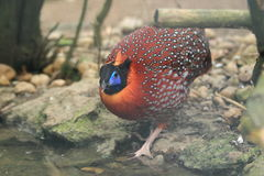 Satyr tragopan. The satyr tragopan approaching to water Stock Images
