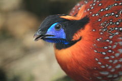 Satyr tragopan. The detail of satyr trapogan Royalty Free Stock Photography