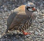Satyr tragopan pheasant 1. Satyr tragopan pheasant. Latin name - Tragopan satyra Stock Images