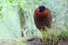 Satyr tragopan Stock Photography