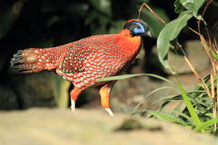 Satyr tragopan Royalty Free Stock Images