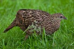 Satyr tragopan (Tragopan satyra). Also known as the crimson horned pheasant. Wildlife animal Royalty Free Stock Image