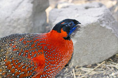 Satyr tragopan (Tragopan satyra) Royalty Free Stock Photography