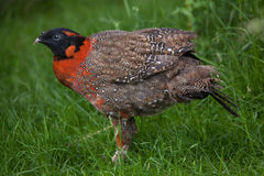 Satyr tragopan Tragopan satyra. Satyr tragopan (Tragopan satyra), also known as the crimson horned pheasant. Wildlife animal Royalty Free Stock Photography